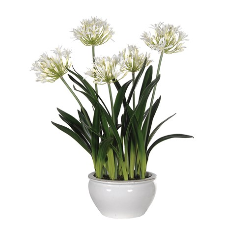 White Agapanthus Plants In Glazed Bowl