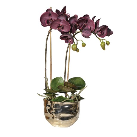 Aubergine Orchid Plants In Gold Ceramic Pot